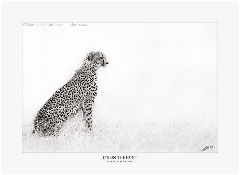 Eye on the Hunt - African Cheetah Monotone Fine Art Wildlife Print