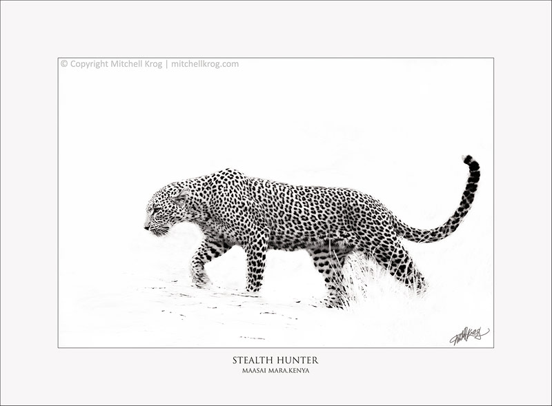 Stealth Hunter - Fine Art Monotone Monochrome Wildlife Leopard Print