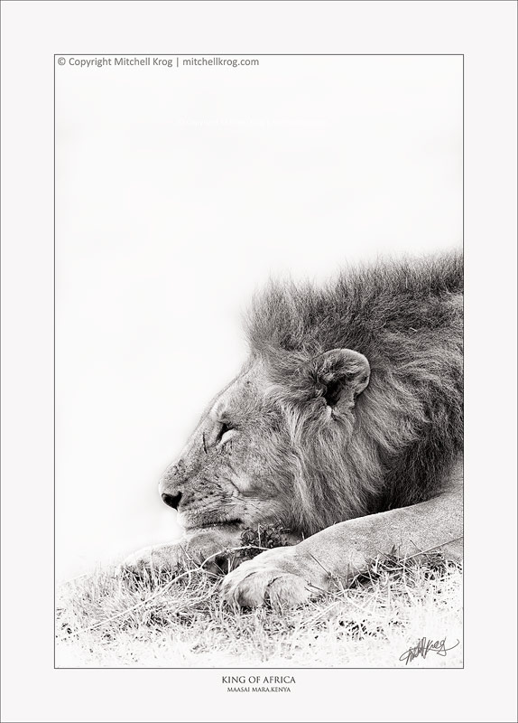 Lion King of Africa - Fine Art Wildlife Print