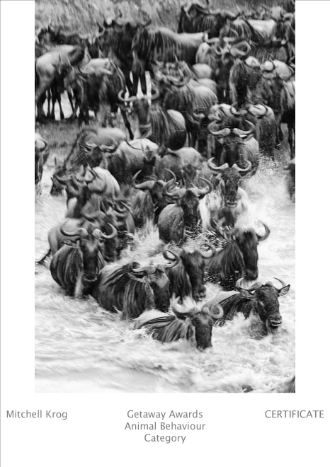 Getaway Fujifilm Wildlife Photography Awards - Rush Hour Maasai Mara - Certificate of Merit (Animal Behaviour - AB) (Image REF: KEX4133)