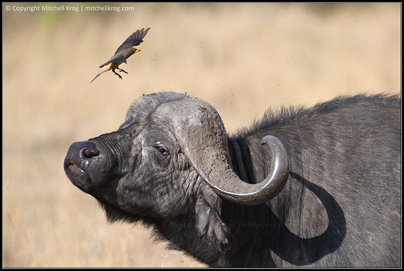A close up photo of an African Buffalo shaking off a yellow-billed Oxpecker bird