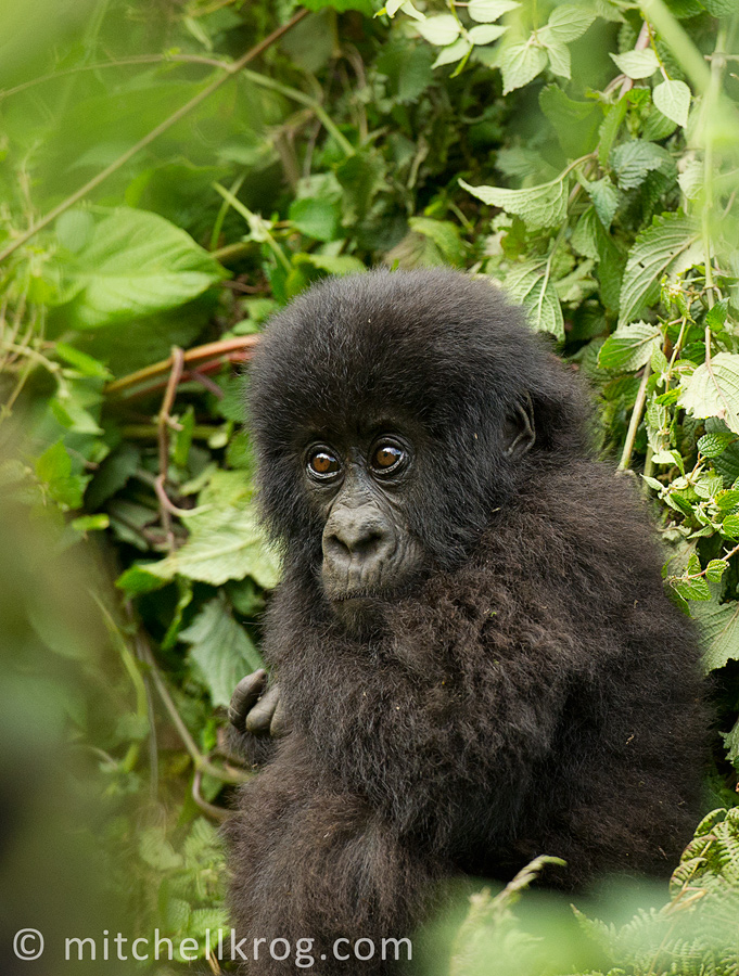 Young Gorilla Photo - Rwanda Mountain Gorilla's (Agushya Group 13)