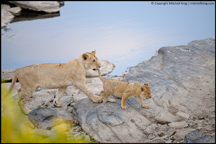 Lion Cubs Playing Maasai Mara