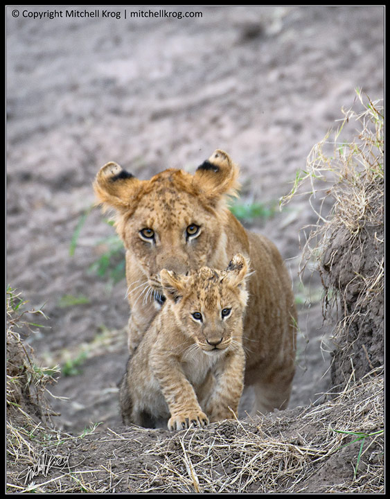 Photo Lion Cubs Maasai Mara