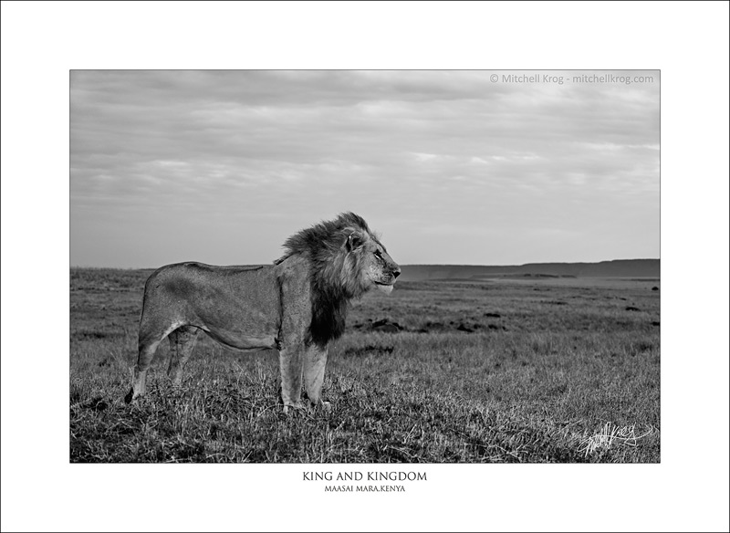 African Lion Fine Art Wildlife Print