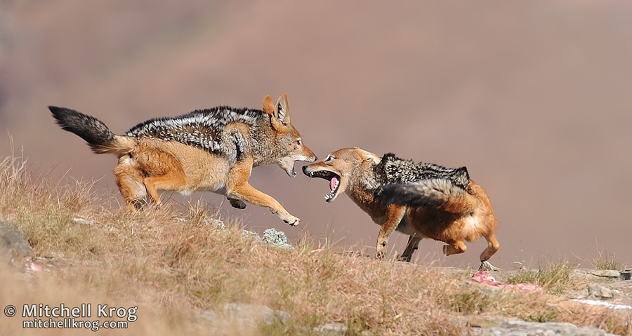 Jackal Fight Skirmish Wildlife Photo Drakensberg Mountains