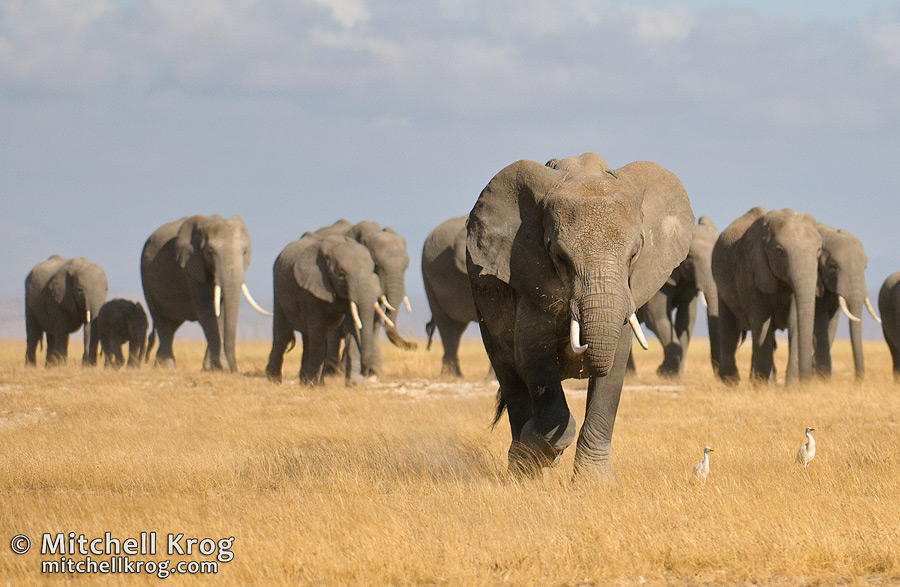 Wildlife Photograph of Elephants Marching Across the Grasslands of Amboseli in Kenya