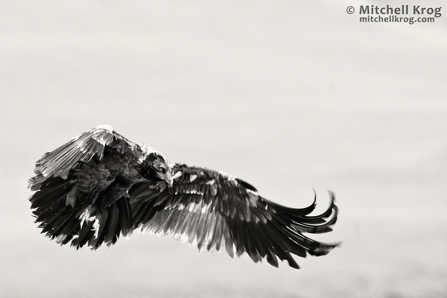 photo fine art print of bearded vulture in monochrome at giants castle
