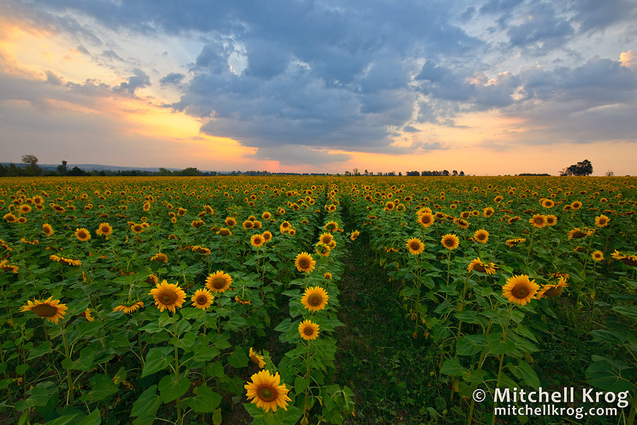 sunflower sunset scenic landscape photos and fine art prints