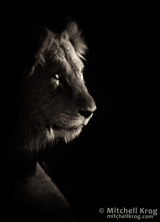 photo lion portrait