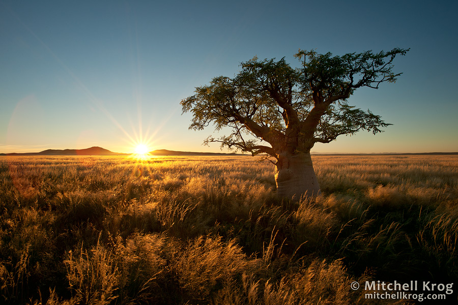 moringa ovalifolia - phantom tree - ghost tree - landscape photo - namibia