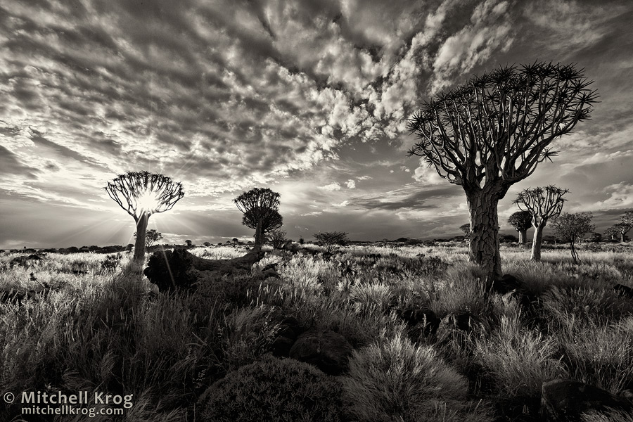 Fine art photo of quiver tree forest in namibia in black and white