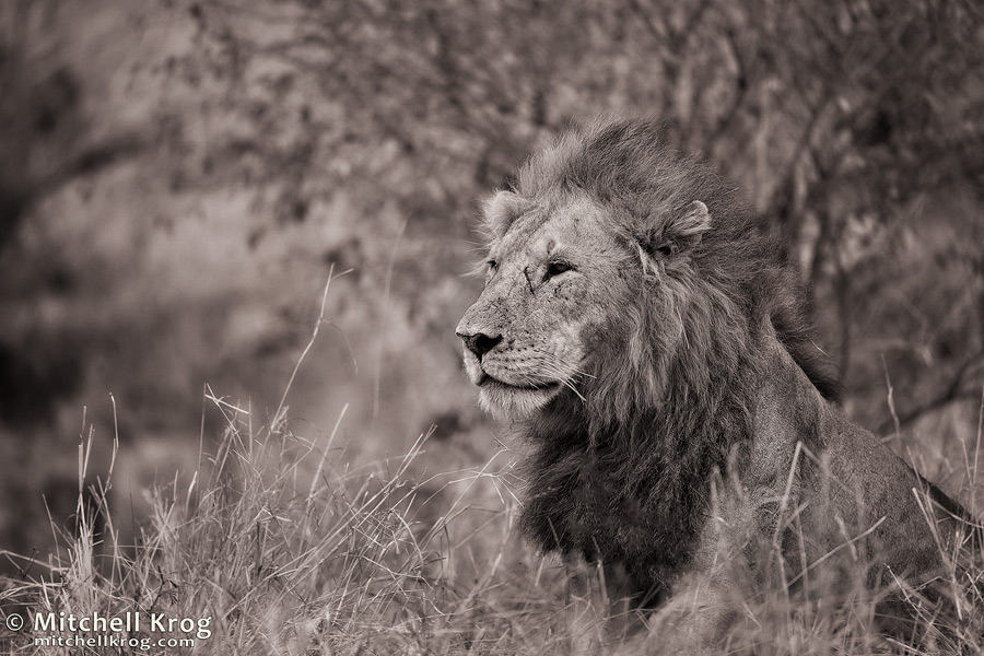 fine art wildlife photo of male lion in the Maasai Mara in Monochrome / Black and White