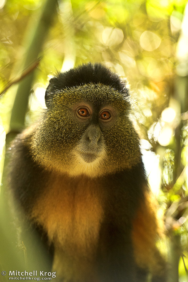 Photo of Golden Monkey in Volcanoes National Park, Virunga Mount