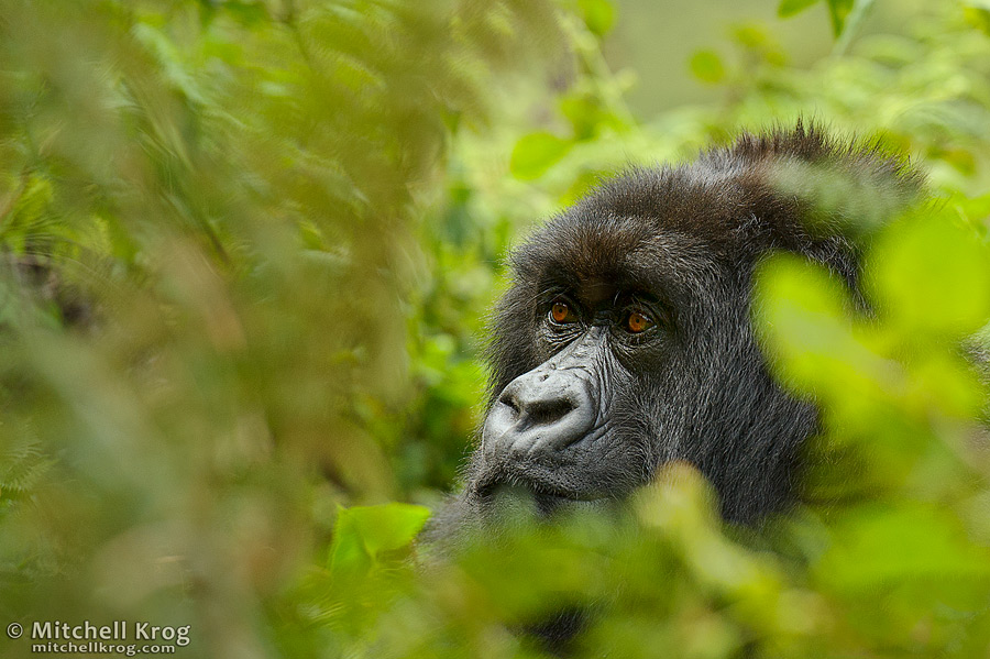 Rwanda Gorilla Pondering in Bushes - Virunga Mountains - Volcano