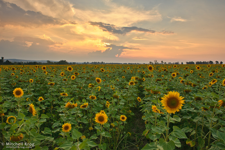 Sunflower Field Landscape Photo at Sunset - Magaliesburg, South